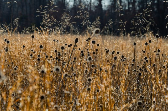 Grasses and thistles