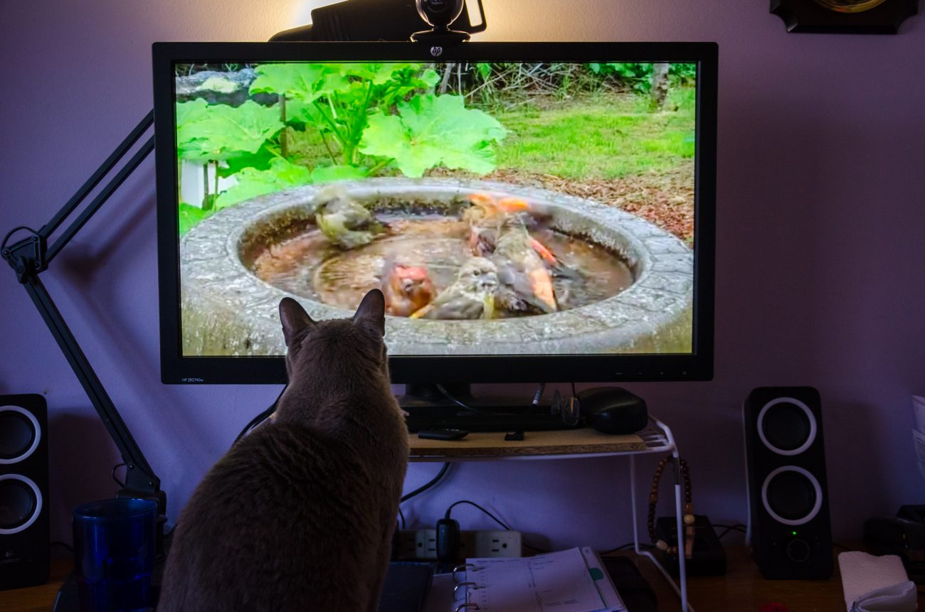 Tubby the Telly Watching Burmese cat sits watching birds on TV