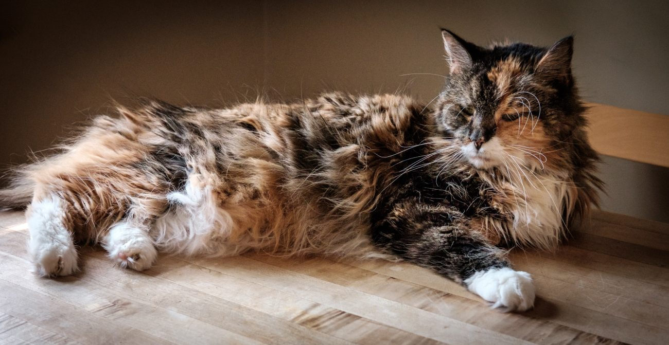 Photograph of a Maine Coon cat lying on a 'butchers block' style wooden table
