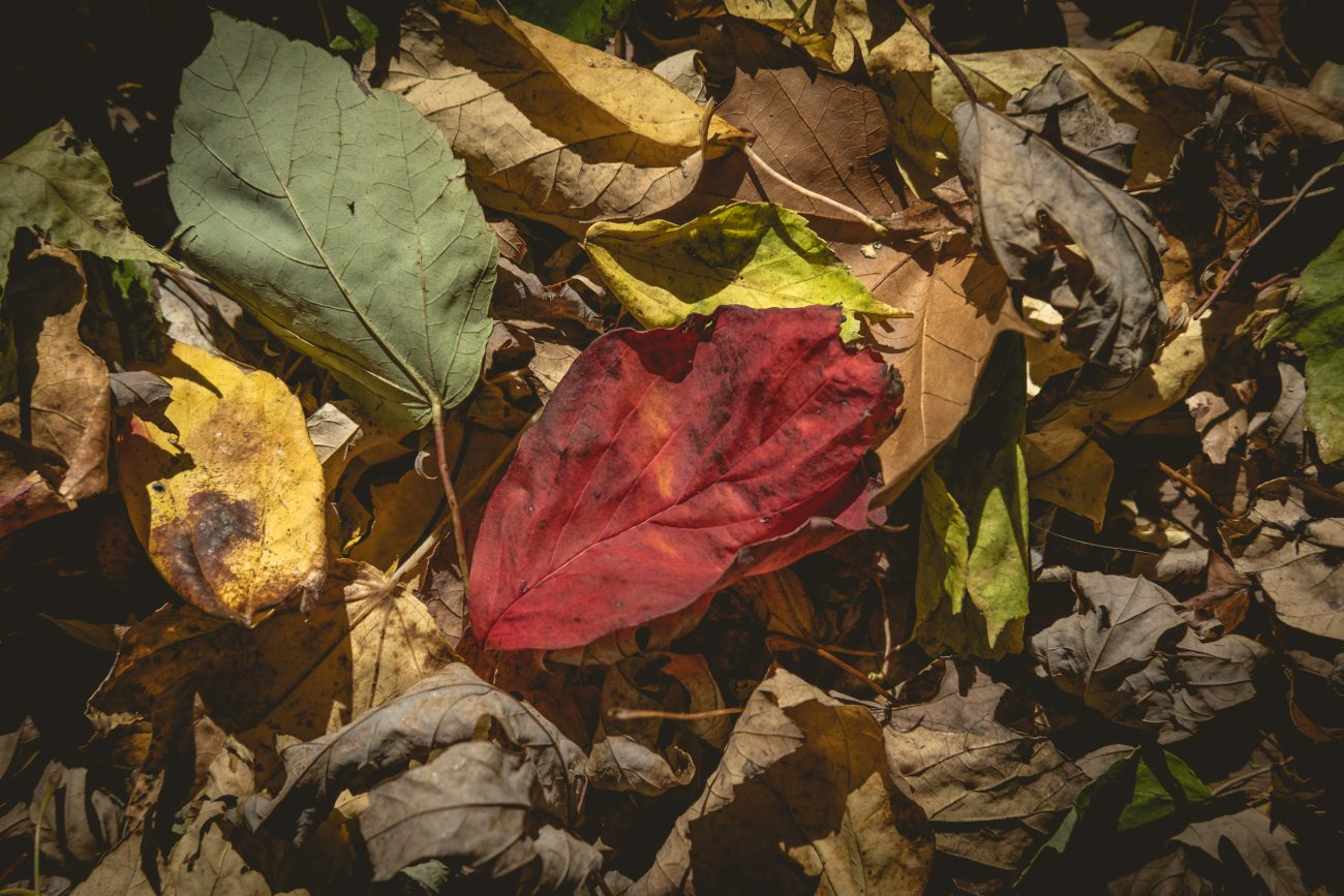 Fall leaves on the ground featuring a single red leaf.