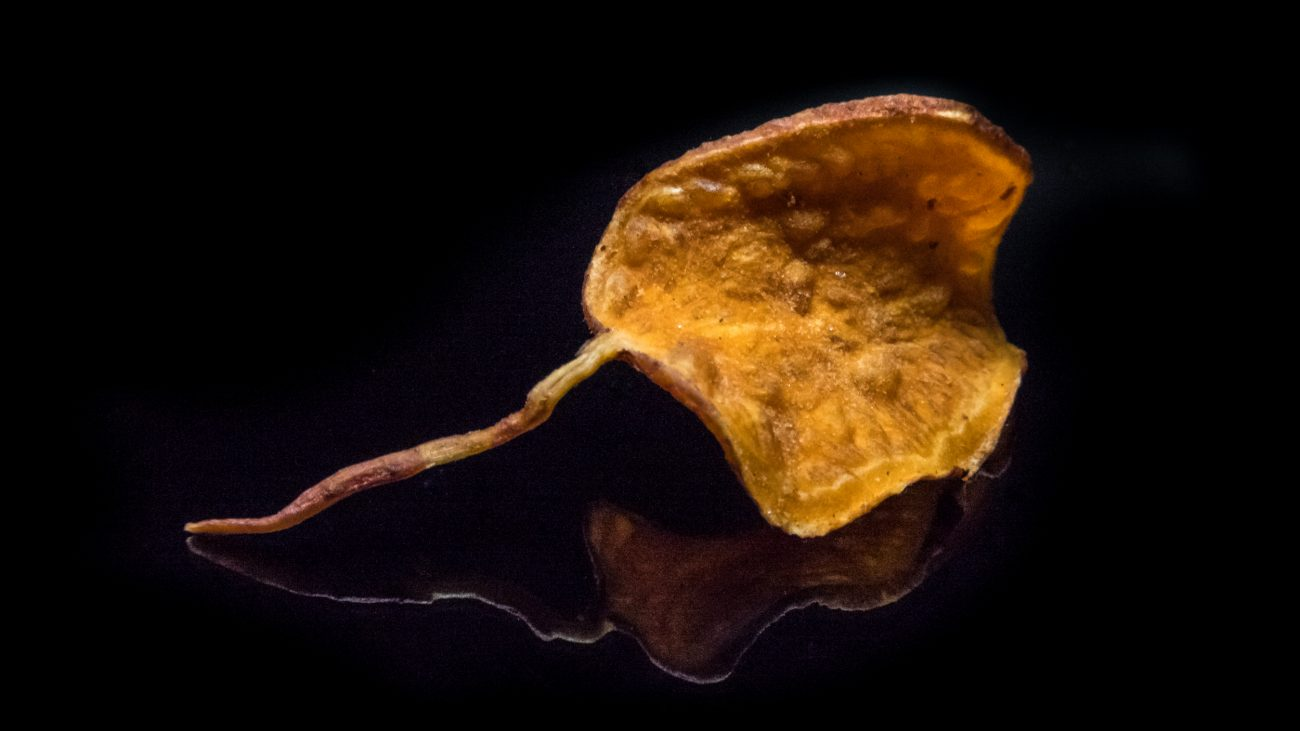 Photograph of a sweet Potato Chip looking very much like a fall leaf.